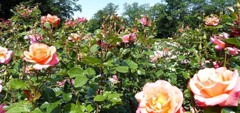 Im Rosengarten von Forst Lausitz