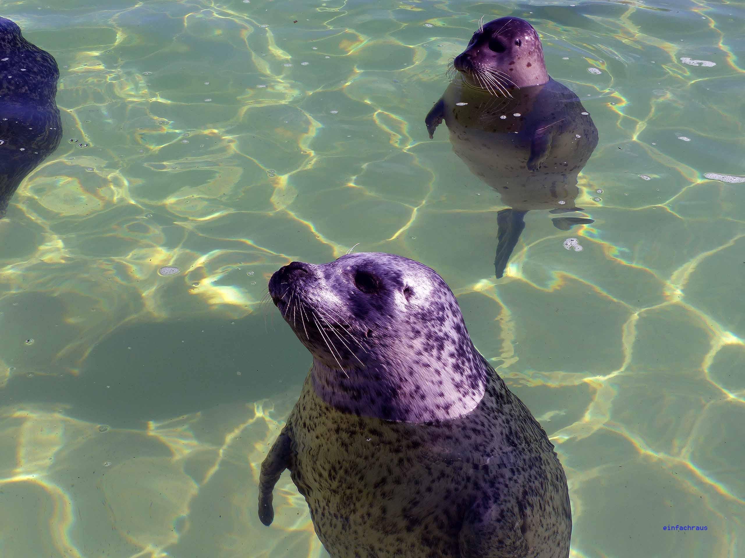 Einige der Seehunde im Ecomare sind blind und bleiben bis zum Lebensende dort,, Foto: Weirauch
