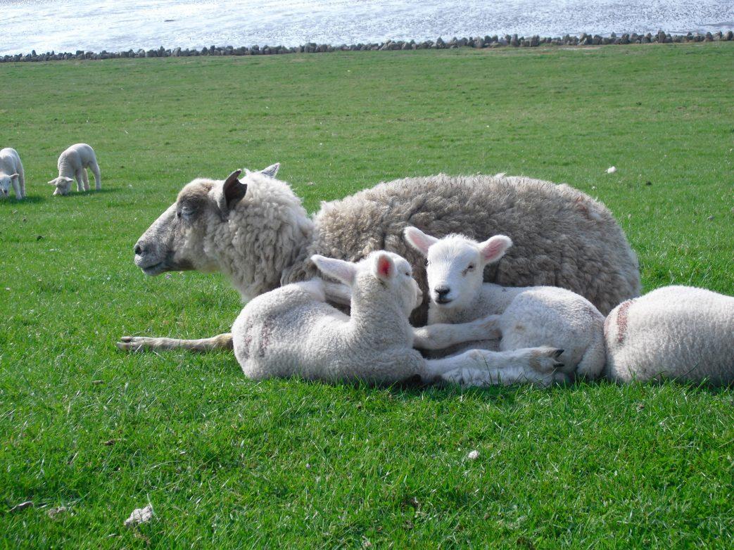 Fasten Sylt Schafe