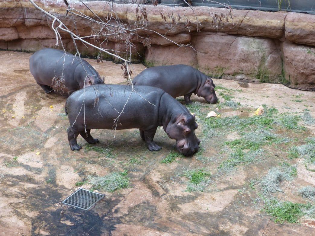 Flusspferde im Zoo Breslau