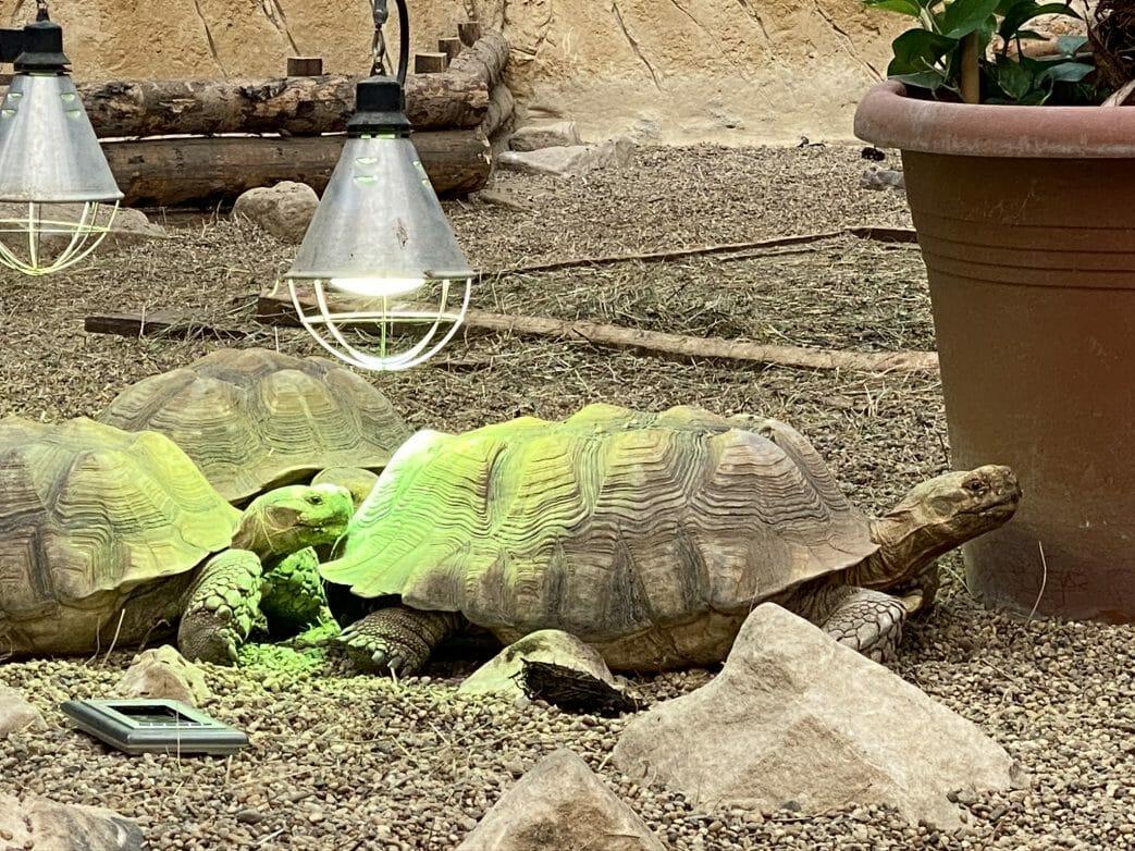 Riesenschiildkröten