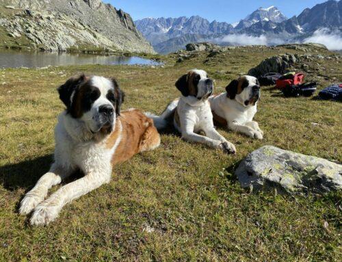 Mit dem Bernhardiner auf Bergtour in der Schweiz